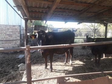 Элита!!!Продаю хорошую молодую корову в Кант