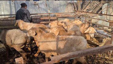 Гиссарская порода овец - Кыргызстан: Продаю | Баран (самец) | Гиссарская | На забой, Для разведения | Племенные, Осеменитель
