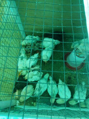 Цыплята 3-х с половиной недельные. Смешанные, смесь