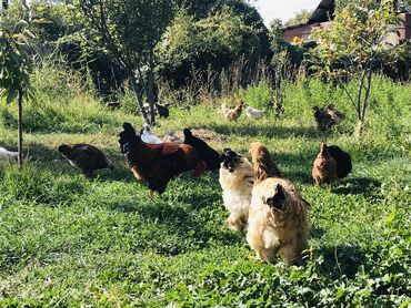 Животные - Кыргызстан: Продаю кур куриц домашние домашний