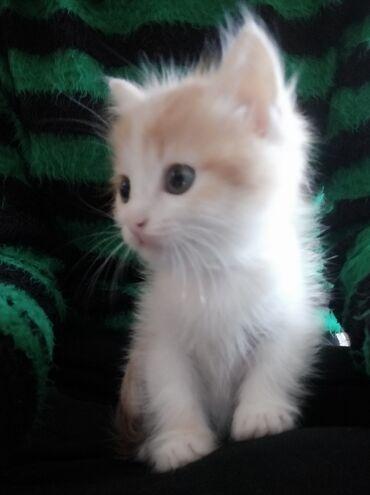Коты - Беловодское: Отдам котёнка в добрые руки. Красивый,Пушистый,игривый мальчик. Бело-