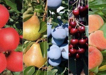 боксерская груша бишкек in Кыргызстан   ПЕРЧАТКИ: Гарантия сорта! Саженцы плодовых деревьев. -яблоня (4 сорта) -груша (2