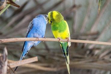 волнистые попугаи размножение в Кыргызстан: Красивые волнистые попугаи