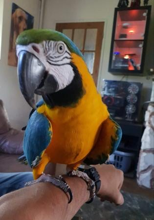 Female Blue & Gold Macaw, , with hatch certificate, micro chipped σε Astypalaia