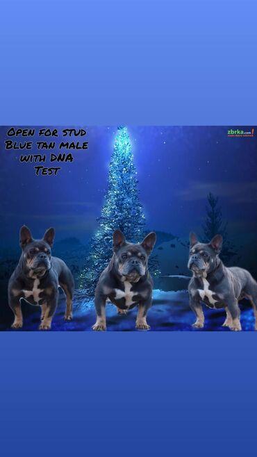 Na prodaju Francuski Buldog Blue tan sa dna testom Slobodan za