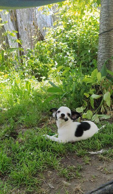 Продаются щенки чихуахуа. Прививки сделаны, с документами