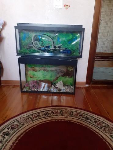 Akvariumlar Qobustanda: 2əd cüt satılır şəkildə görünən hamsı verilir rəngli daş hava