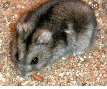 Животные - Орто-Сай: Продаю джунгарских хомячков. Окрас бурундуковый