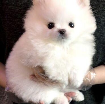 Χαριτωμένα Pomeranian αρσενικά και θηλυκά κουτάβια διεύθυνση email