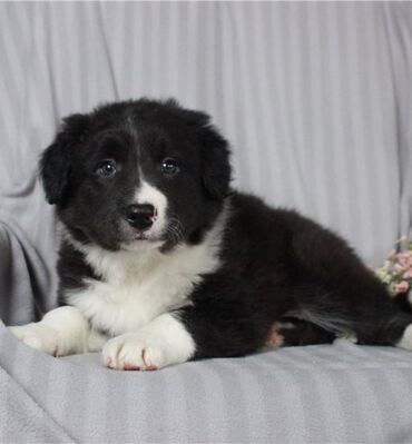 Amazing Border Collies available for re~homing 🥰