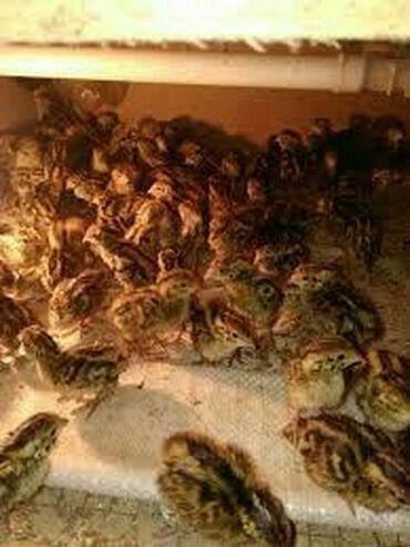 - Azərbaycan: Bildircin cuceleri satilir 5 gunlukduler qiymeti 50 qepik