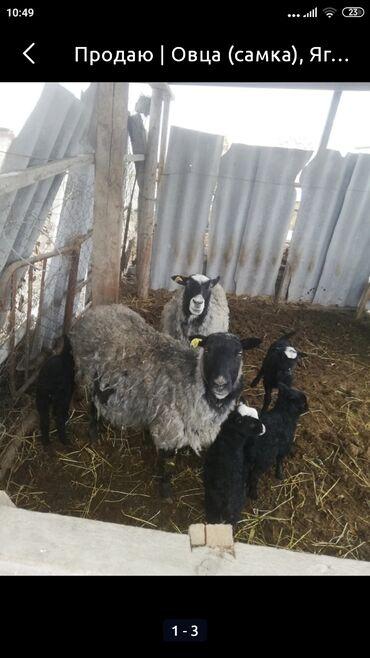Продаю | Овца (самка) | Романовская | Для разведения | Матка