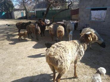 Куплю козу дойную - Кыргызстан: Баран+ягнята.40голов.овца.коза дойная котная