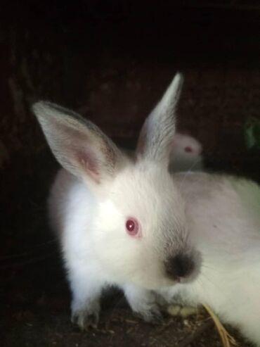 продам-крольчат в Кыргызстан: Продаю крольчат. 1,5 месяца. Порода калифорнийская. Цена 600 сом