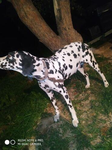 15 объявлений | ЖИВОТНЫЕ: Продается собака породы далматинец!  Сучка Собака находится в таласе