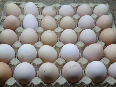 Животные - Бишкек: Яйцо инкубационое доминант d959 доминант крапчатый d 959 является