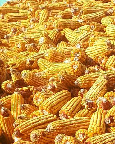 Кукуруза сухая, чистая, в початках и конечно же в мешках готовые !