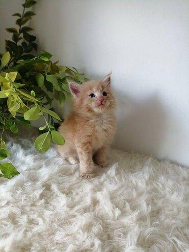 Mačići Maine coonU potrazi za domovima koji zauvijek vole, imamo ove