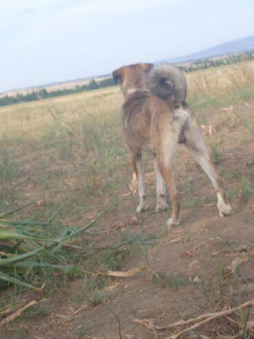 Животные - Каинды: Ушул чоң ит сатылат эркек 2жаштан оту духу абдан күчтүү кашкулакты