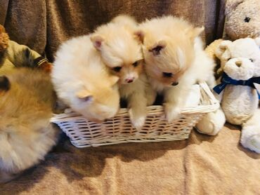 Top Pomeranian puppies for sale  we have male and female Pomeranian p