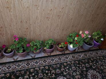 Комнатные растения - Узген: Фиалки