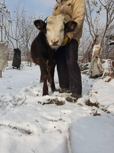 С/х животные - Кыргызстан: 3 бычка (симентал,айшир,голштин) и телка швицкая порода. 8