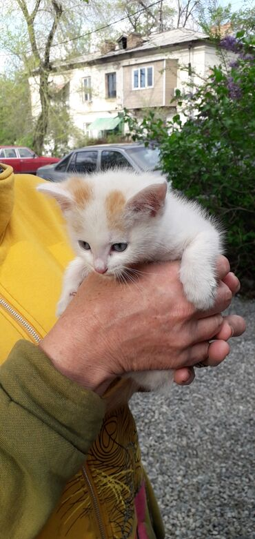 Ищу хозяина! Этот котик, миленький, маленький, белый с рыжими пятнышка