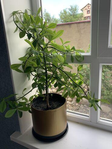 Продаю комнатное дерево, совсем не капризное. 200 сом