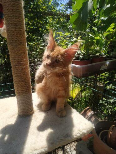 Продается кот породы Мейн-кун