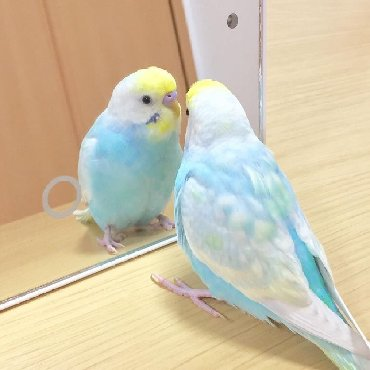 волнистые попугаи размножение в Кыргызстан: Шикарные разные волнистые попугаи писать в лс))