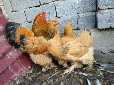 Палевая брама семья 1+3 молодняк петух в Кок-Ой