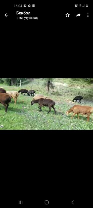 Животные - Ноокат: Продаю | Баран (самец) | Гиссарская