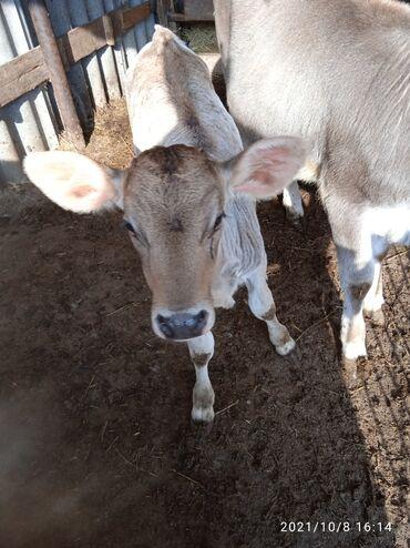 139 объявлений   ЖИВОТНЫЕ: Телочка больше месяцапьет молоко с ведра кушает сеноотруби