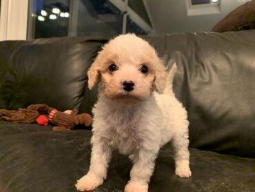 Dostupni slatki štenad Cavachon.Vrlo ljubazni i mekani psi s