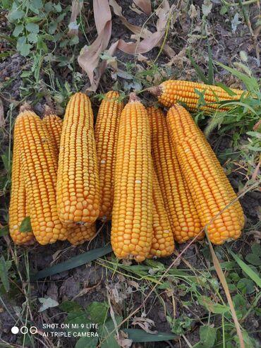 80 объявлений: Продам кукурузу .с поле или доставлю . звоните в любое время!