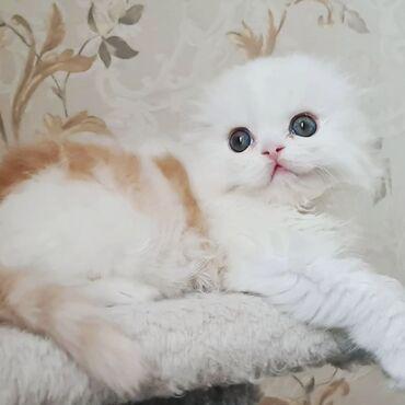 Коты - Кыргызстан: Выставляется на продажувеликолепный мальчик, породы Хайленд Фолд. В