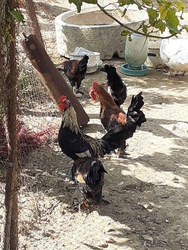 yaponka - Azərbaycan: Salam 7ayliq yaponka xoruzlari satilir 12manata mawdagadadilar real