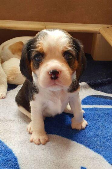 Κουτάβια Beagles Έτοιμα τώραΈχουμε κορίτσι και αγόρι διαθέσιμα και οι