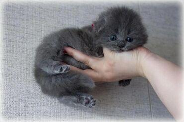 Продажа!!!!Очень красивые голубые котята,родились 20/04/2020!Ждут