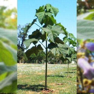 Комнатные растения - Кызыл-Кия: П/ся саженцев быстрого растущего дерево Павловния