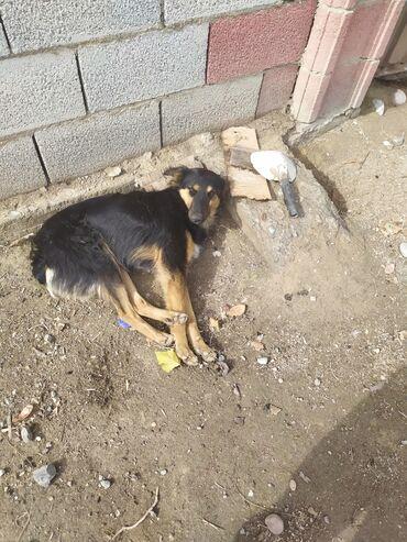Животные - Кыргызстан: Пропала собака, в селе Сокулук в центре, около Глобуса. Зовут Киреше
