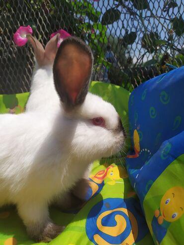 296 объявлений   ЖИВОТНЫЕ: Продаю   Крольчата   Калифорнийская   Для разведения   Племенные