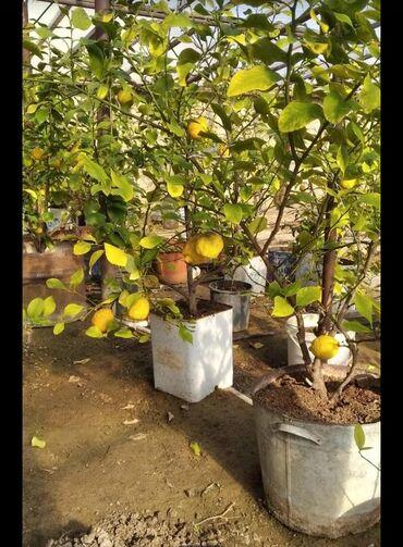 Ordubad limon ağaclari istelinen sayda qiymetde var