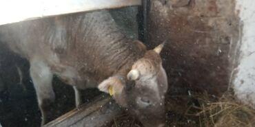 тепловизор цена бишкек в Кыргызстан: Бишкек,село Алмалуу,продаю 2 быка, цена договорная