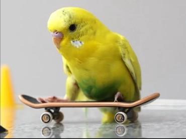 жесткий д в Кыргызстан: Волнистые попугайчики хорошо учатся говорить и приручаются к рукам а т
