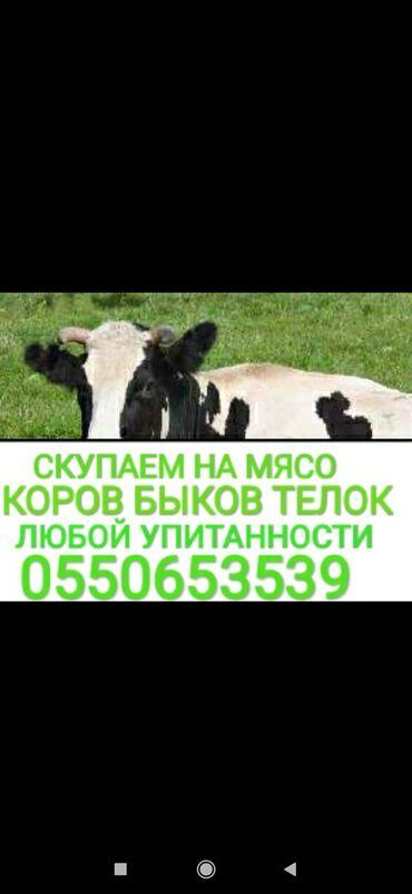 8909 объявлений: Куплю | Коровы, быки, Лошади, кони | Круглосуточно, Любое состояние, Забитый