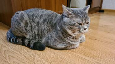 наушники 7 1 в Кыргызстан: Вязка. Кот Скотиш страйт. 1 год, 7 кг крупный . Находимся в центре гор