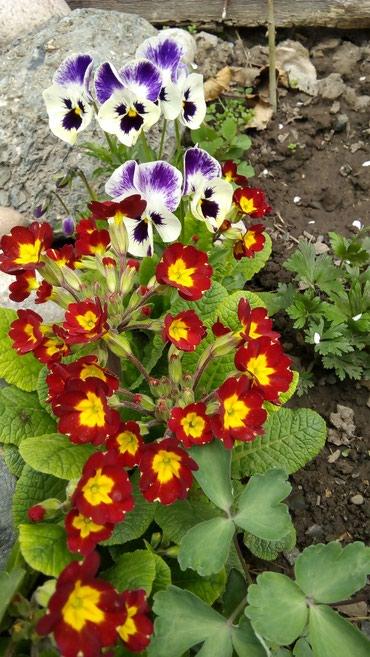 Садовые цветы, примула, красная и жёлтая в Бишкек