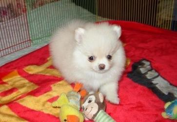 Beautiful Pomeranian Puppies for sale σε Gazi