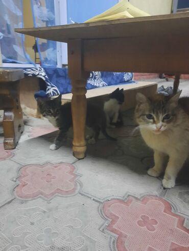 Животные - Кок-Джар: Отдаю в хорошие руки . 3 котят и маму кошку